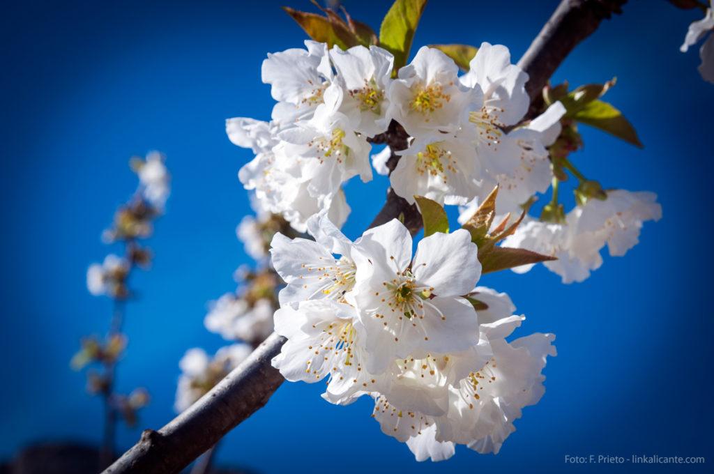 Cerezos en Flor en Vall de Gallinera