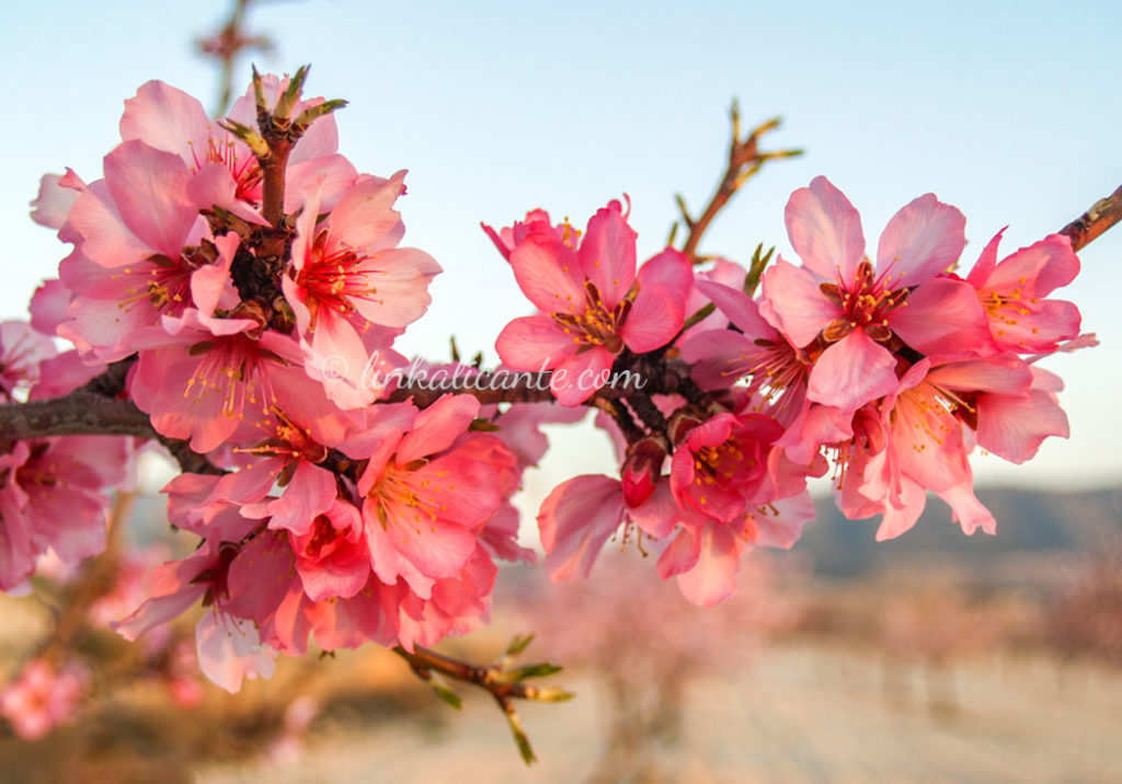 Alcalalí en Flor - Almendros en Flor