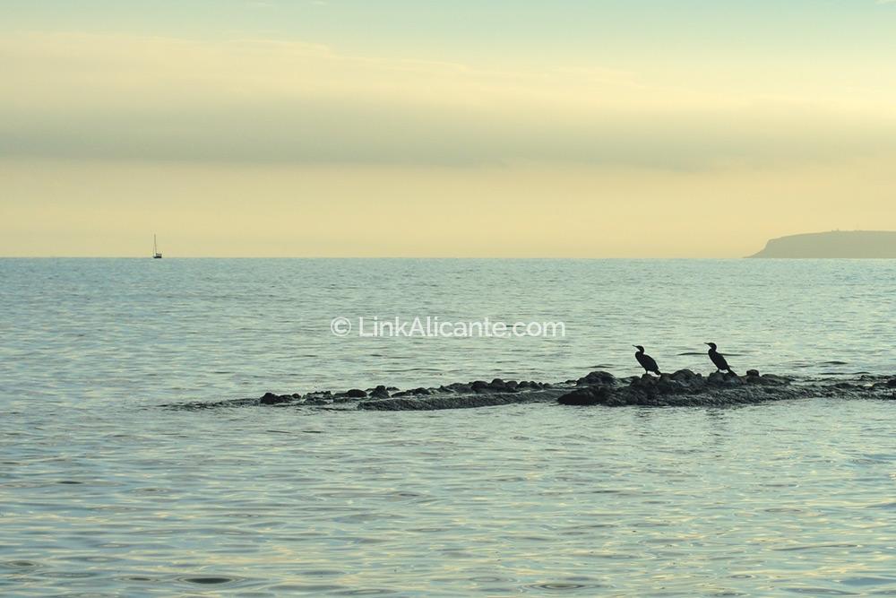 Cormoranes en el Cabo de la Huerta de Alicante
