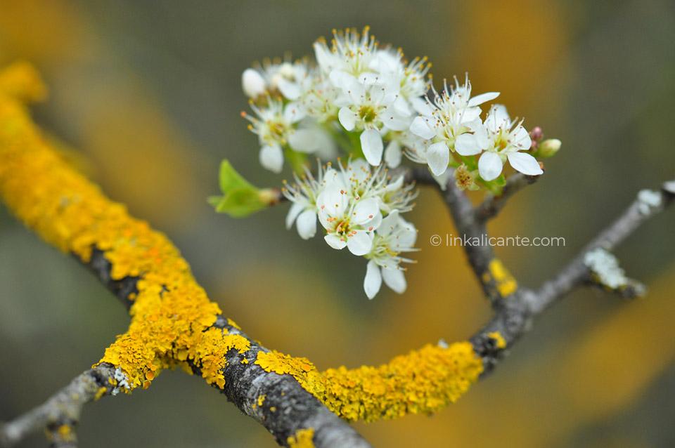 Cerezos en flor, la Vall de Gallinera, ruta de los 8 pueblos