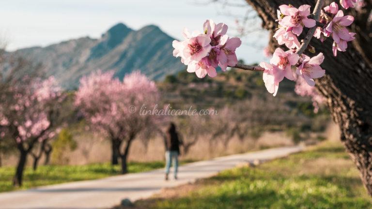 Ruta de los almendros en flor de Alcalalí