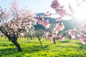 Ruta almendros en flor Alcalalí