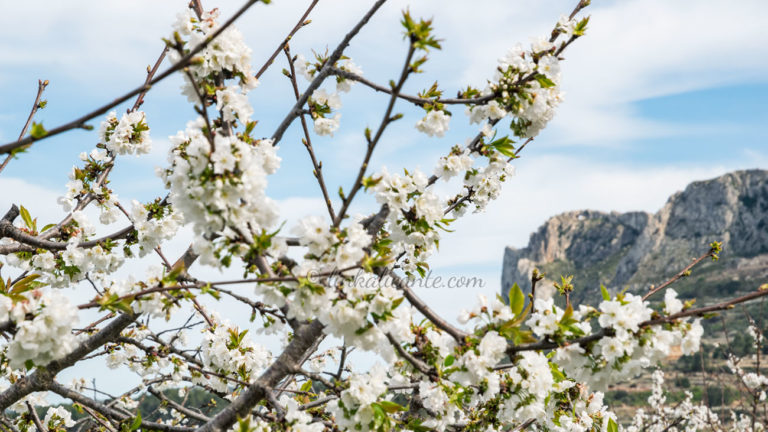 Rutas Cerezos en Flor en la provincia de Alicante