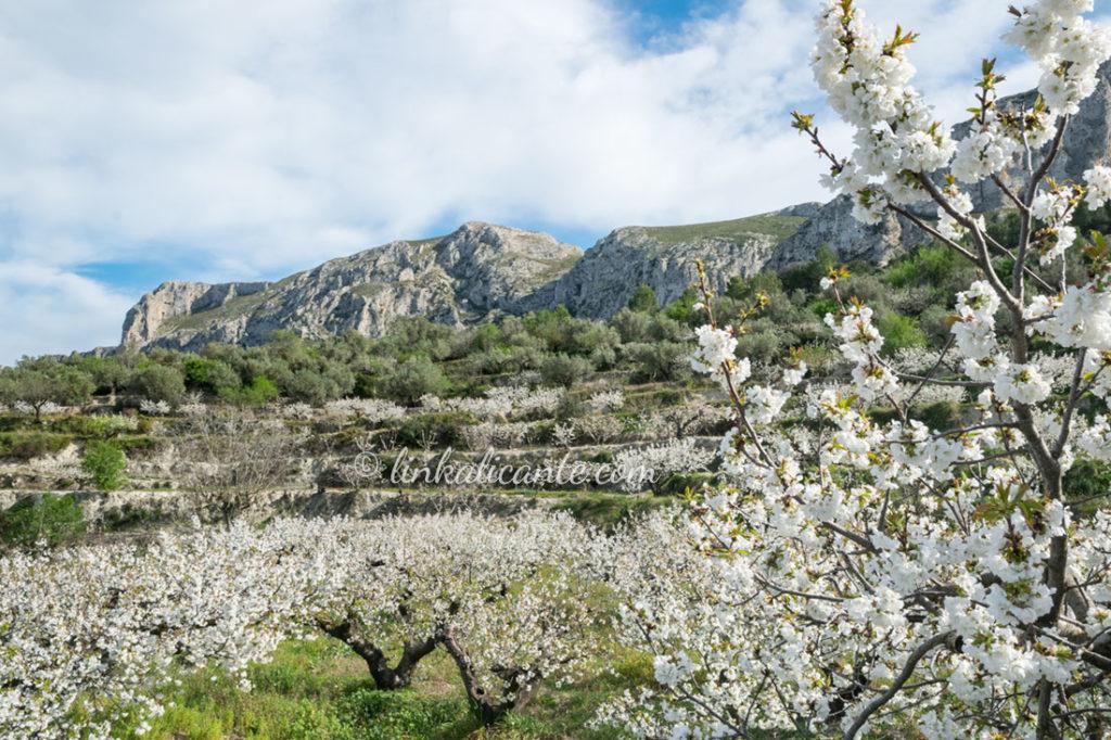 Ruta Cerezos en Flor Vall de Gallinera