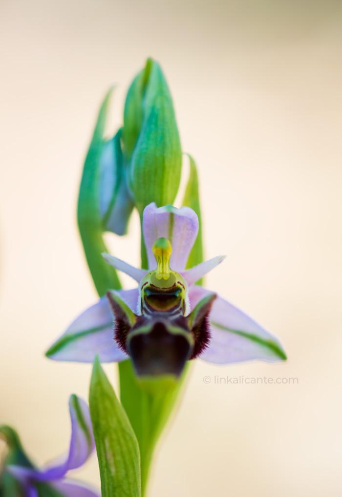 Ophrys Scolopax, ruta orquídeas Alcalalí