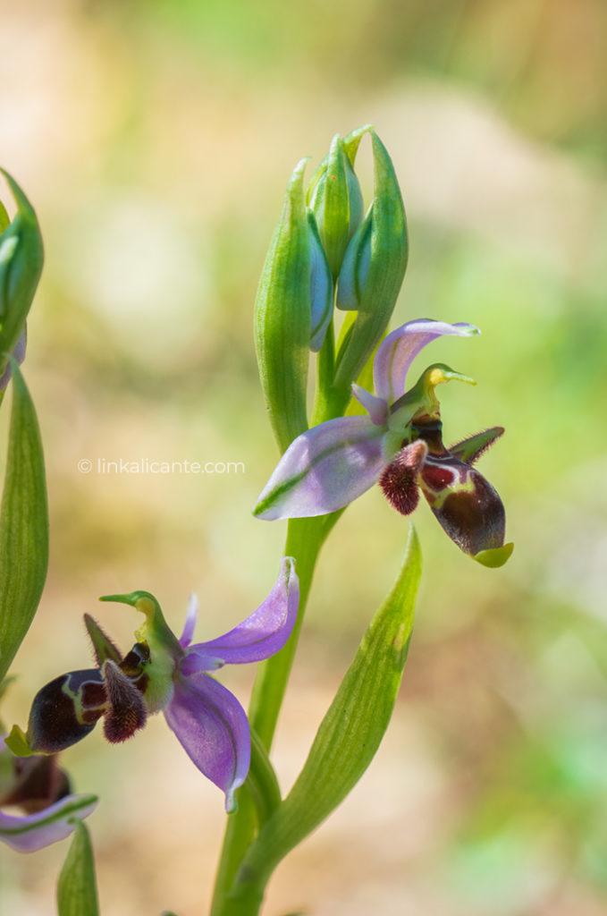 ruta-orquideas-alcalali_DSC0210