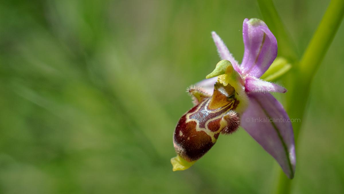 Ruta interpretativa de orquideas en Alcalalí (Vall de Pop), Alicante